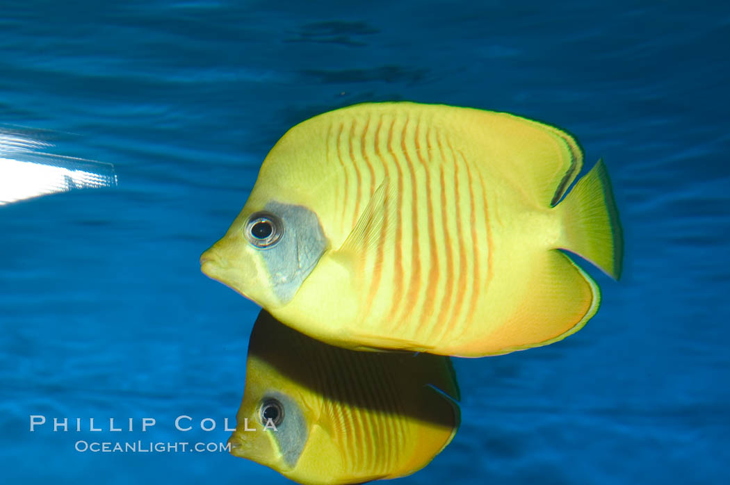 Golden butterflyfish., Chaetodon semilarvatus, natural history stock photograph, photo id 07834