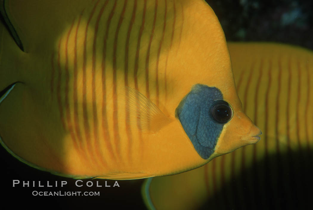 Masked butterflyfish. Egyptian Red Sea, Chaetodon semilarvatus, natural history stock photograph, photo id 05239