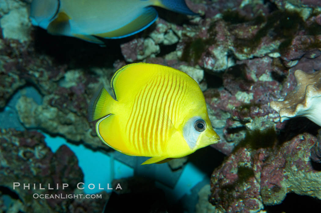 Masked butterflyfish., Chaetodon semilarvatus, natural history stock photograph, photo id 11811