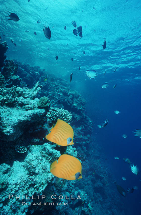Masked butterflyfish. Egyptian Red Sea, Chaetodon semilarvatus, natural history stock photograph, photo id 05269