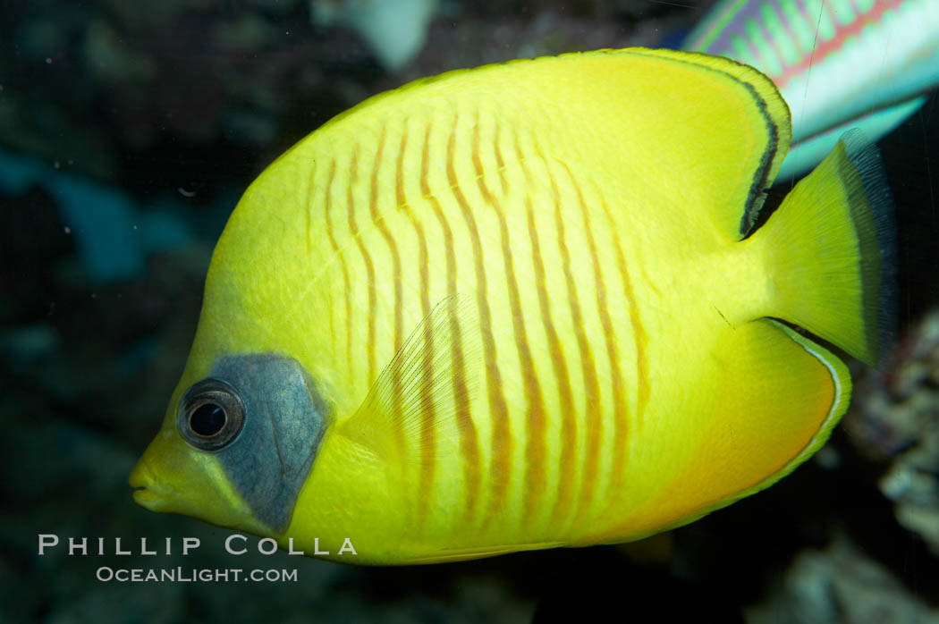 Masked butterflyfish., Chaetodon semilarvatus, natural history stock photograph, photo id 11805