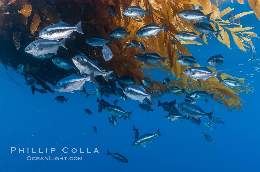 Half-moon perch school below offshore drift kelp, open ocean. San Diego, California, USA, Medialuna californiensis, natural history stock photograph, photo id 09993