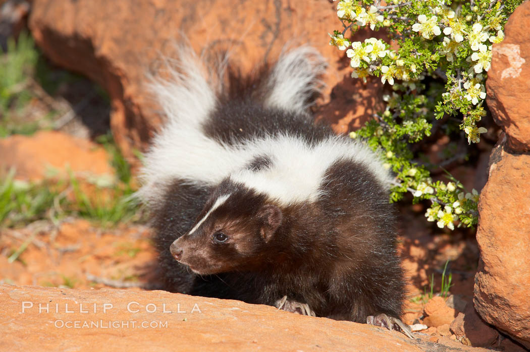 Striped skunk.  The striped skunk prefers somewhat open areas with a mixture of habitats such as woods, grasslands, and agricultural clearings. They are usually never found further than two miles from a water source. They are also often found in suburban areas because of the abundance of buildings that provide them with cover., Mephitis mephitis, natural history stock photograph, photo id 12062