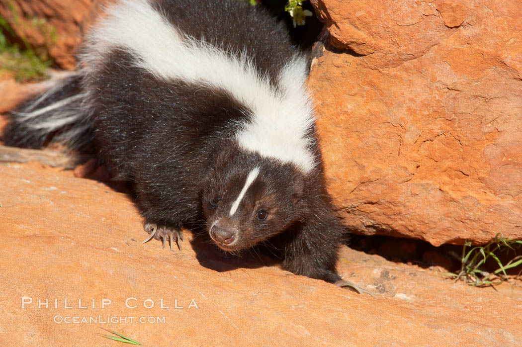Striped skunk.  The striped skunk prefers somewhat open areas with a mixture of habitats such as woods, grasslands, and agricultural clearings. They are usually never found further than two miles from a water source. They are also often found in suburban areas because of the abundance of buildings that provide them with cover., Mephitis mephitis, natural history stock photograph, photo id 12056