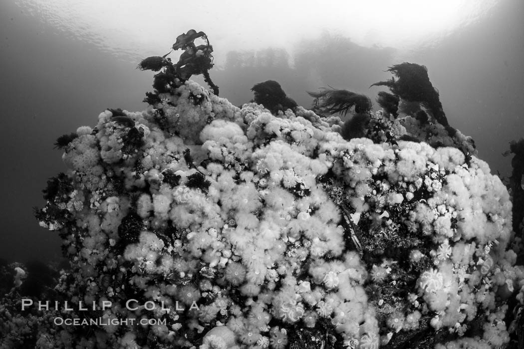 White metridium anemones fed by strong ocean currents, cover a cold water reef teeming with invertebrate life. Browning Pass, Vancouver Island. British Columbia, Canada, Metridium senile, natural history stock photograph, photo id 35408