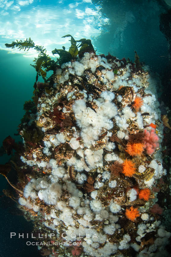 White metridium anemones fed by strong ocean currents, cover a cold water reef teeming with invertebrate life. Browning Pass, Vancouver Island, Metridium senile