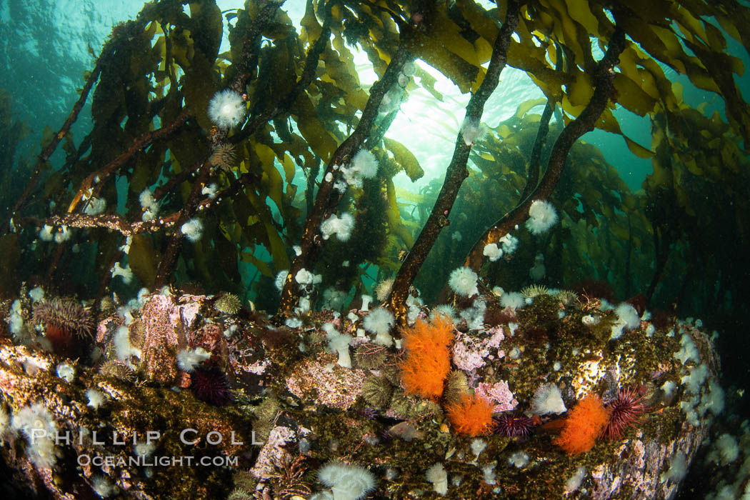 Metridium senile anemones cover the reef below a forest of bull kelp, Browning Pass, Vancouver Island. British Columbia, Canada, Metridium senile, Nereocystis luetkeana, natural history stock photograph, photo id 35258