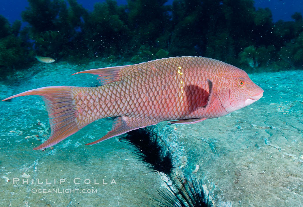 Mexican hogfish, female or subadult male lacking fleshy bump on head. Guadalupe Island (Isla Guadalupe), Baja California, Mexico, Bodianus diplotaenia, natural history stock photograph, photo id 09611