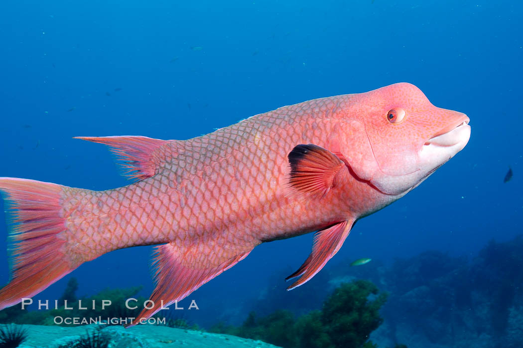 Mexican hogfish, adult male showing fleshy bump on head. Guadalupe Island (Isla Guadalupe), Baja California, Mexico, Bodianus diplotaenia, natural history stock photograph, photo id 09616