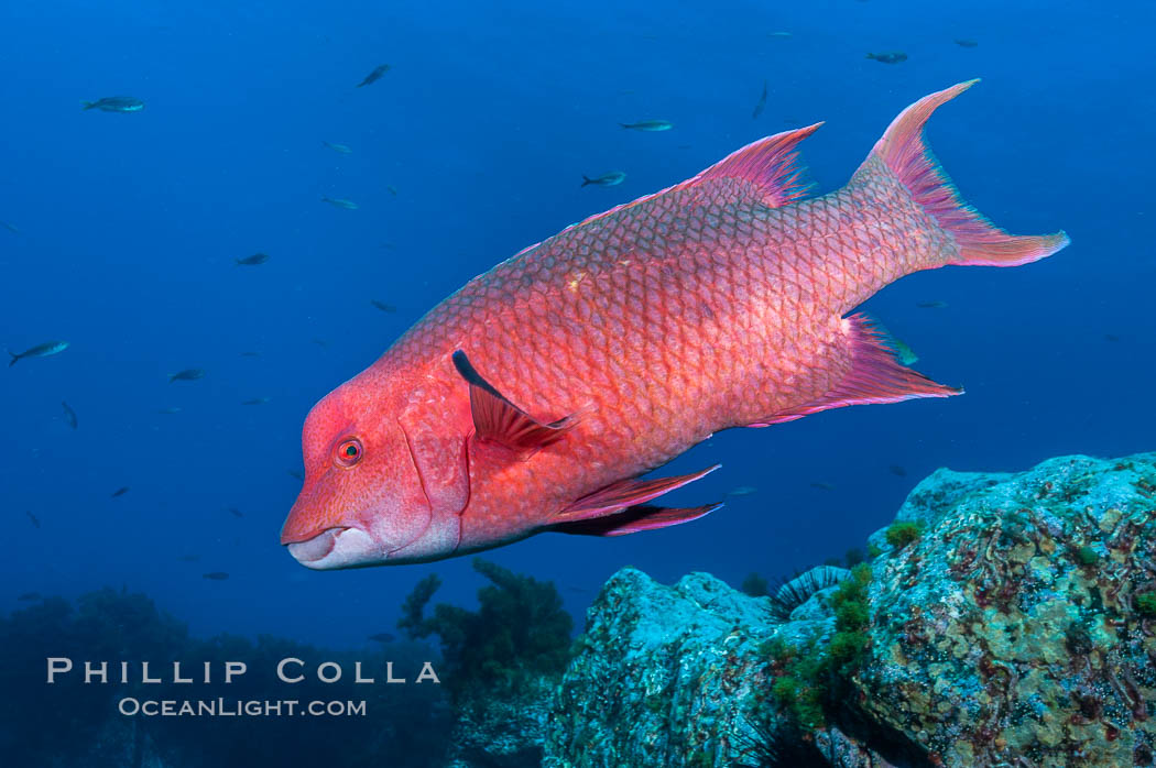 Mexican hogfish, adult male showing fleshy bump on head. Guadalupe Island (Isla Guadalupe), Baja California, Mexico, Bodianus diplotaenia, natural history stock photograph, photo id 09607