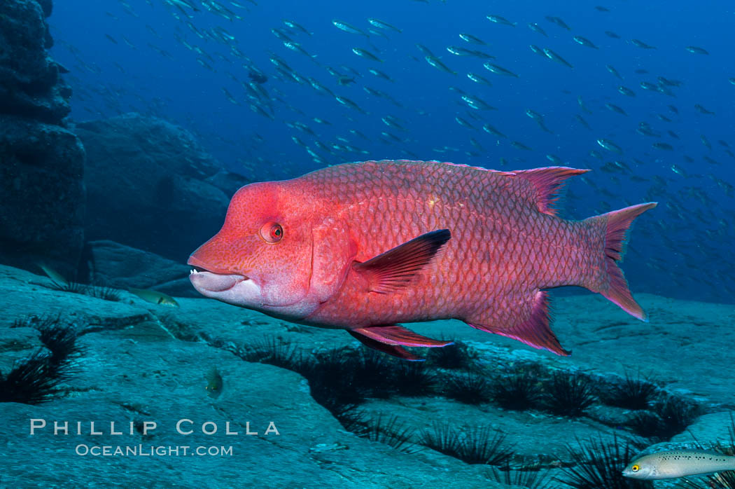 Mexican hogfish, adult male showing fleshy bump on head. Guadalupe Island (Isla Guadalupe), Baja California, Mexico, Bodianus diplotaenia, natural history stock photograph, photo id 09613