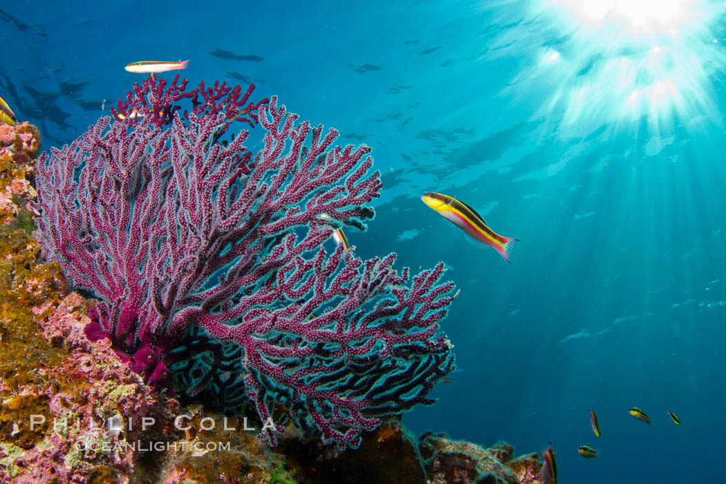 Reef with gorgonians and marine invertebrates, Sea of Cortez, Baja California, Mexico., natural history stock photograph, photo id 27514