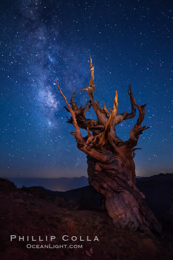 Stars and the Milky Way rise above ancient bristlecone pine trees, in the White Mountains at an elevation of 10,000' above sea level.  These are some of the oldest trees in the world, reaching 4000 years in age. Ancient Bristlecone Pine Forest, White Mountains, Inyo National Forest, California, USA, Pinus longaeva, natural history stock photograph, photo id 27774