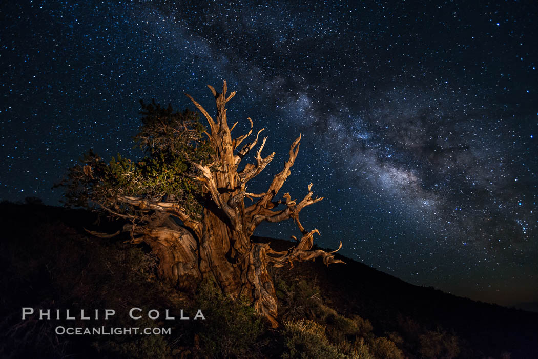 Stars and the Milky Way rise above ancient bristlecone pine trees, in the White Mountains at an elevation of 10,000' above sea level.  These are some of the oldest trees in the world, reaching 4000 years in age. Ancient Bristlecone Pine Forest, White Mountains, Inyo National Forest, California, USA, Pinus longaeva, natural history stock photograph, photo id 27782