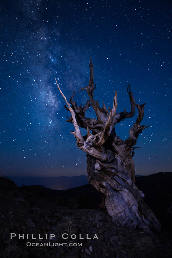 Stars and the Milky Way rise above ancient bristlecone pine trees, in the White Mountains at an elevation of 10,000' above sea level.  These are some of the oldest trees in the world, reaching 4000 years in age. Ancient Bristlecone Pine Forest, White Mountains, Inyo National Forest, California, USA, Pinus longaeva, natural history stock photograph, photo id 27786