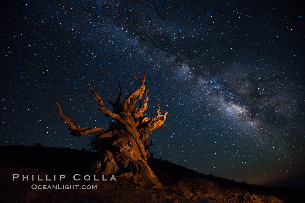Stars and the Milky Way rise above ancient bristlecone pine trees, in the White Mountains at an elevation of 10,000' above sea level.  These are some of the oldest trees in the world, reaching 4000 years in age. Ancient Bristlecone Pine Forest, White Mountains, Inyo National Forest, California, USA, Pinus longaeva, natural history stock photograph, photo id 27784