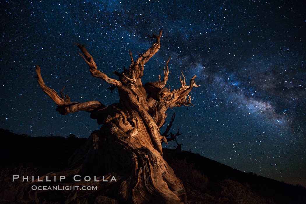 Stars and the Milky Way rise above ancient bristlecone pine trees, in the White Mountains at an elevation of 10,000' above sea level.  These are some of the oldest trees in the world, reaching 4000 years in age. Ancient Bristlecone Pine Forest, White Mountains, Inyo National Forest, California, USA, Pinus longaeva, natural history stock photograph, photo id 27783