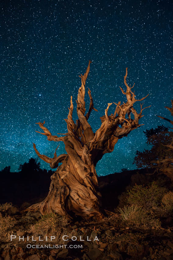Stars and the Milky Way rise above ancient bristlecone pine trees, in the White Mountains at an elevation of 10,000' above sea level.  These are some of the oldest trees in the world, reaching 4000 years in age. Ancient Bristlecone Pine Forest, White Mountains, Inyo National Forest, California, USA, Pinus longaeva, natural history stock photograph, photo id 27773
