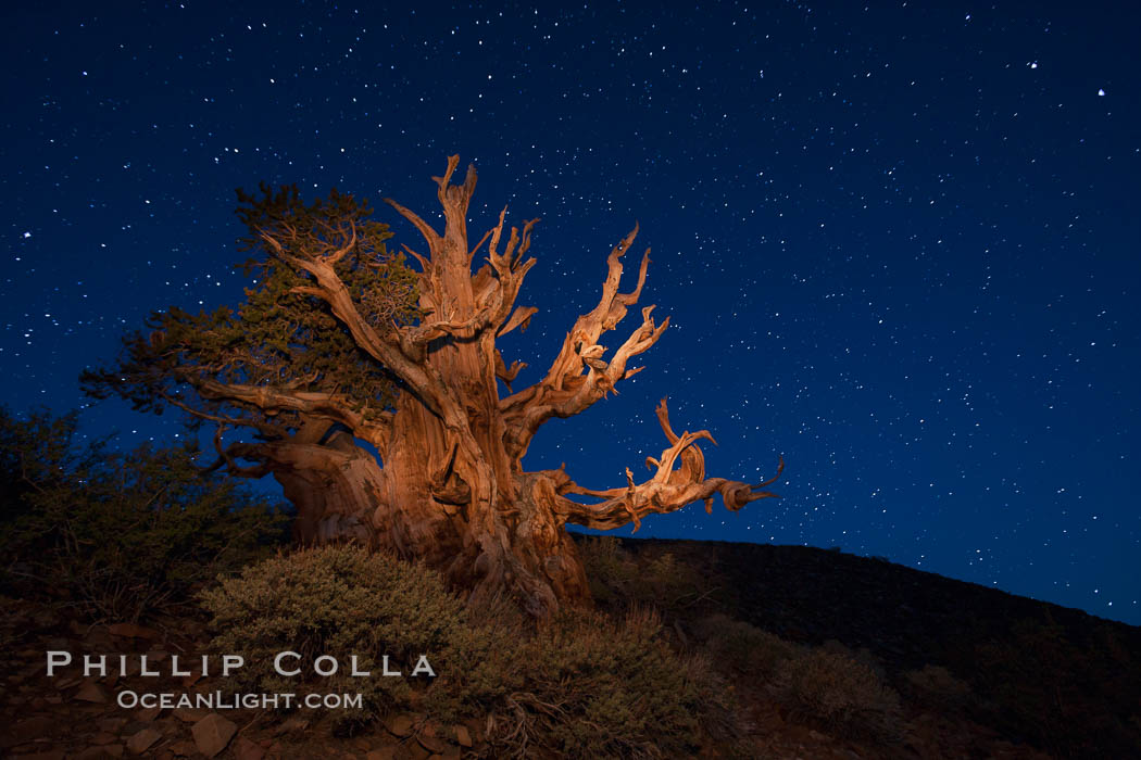 Stars and the Milky Way rise above ancient bristlecone pine trees, in the White Mountains at an elevation of 10,000' above sea level.  These are some of the oldest trees in the world, reaching 4000 years in age. Ancient Bristlecone Pine Forest, White Mountains, Inyo National Forest, California, USA, Pinus longaeva, natural history stock photograph, photo id 27777