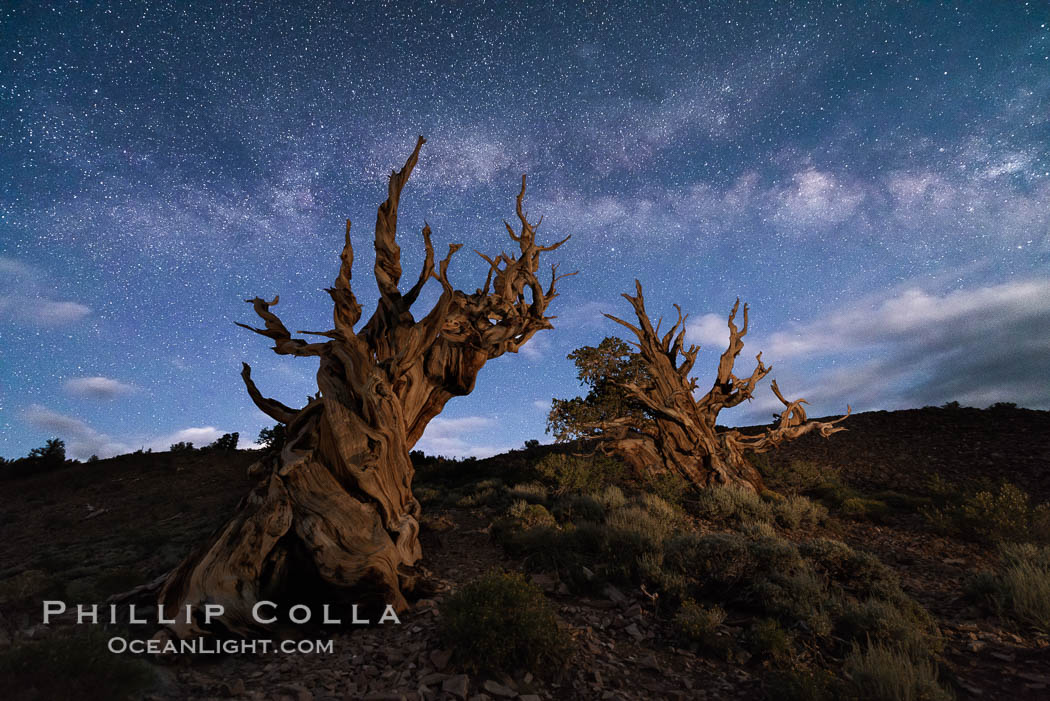 Stars and the Milky Way over ancient bristlecone pine trees, in the White Mountains at an elevation of 10,000' above sea level. These are some of the oldest trees in the world, some exceeding 4000 years in age. Ancient Bristlecone Pine Forest, White Mountains, Inyo National Forest, California, USA, Pinus longaeva, natural history stock photograph, photo id 29404