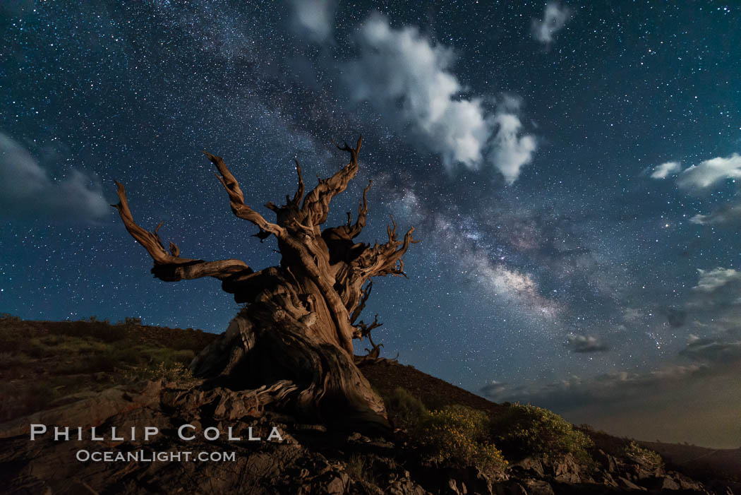 Stars, moonlit clouds and the Milky Way over ancient bristlecone pine trees, in the White Mountains at an elevation of 10,000' above sea level. These are some of the oldest trees in the world, some exceeding 4000 years in age. Ancient Bristlecone Pine Forest, White Mountains, Inyo National Forest, California, USA, Pinus longaeva, natural history stock photograph, photo id 29405