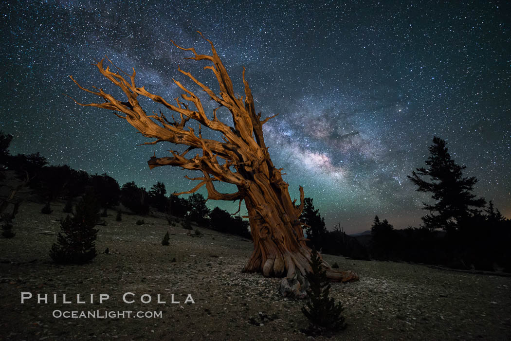 Milky Way over Ancient Bristlecone Pine Trees, Inyo National Forest. Ancient Bristlecone Pine Forest, White Mountains, Inyo National Forest, California, USA, Pinus longaeva, natural history stock photograph, photo id 29318