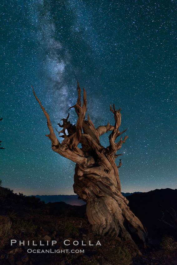 Milky Way over Ancient Bristlecone Pine Trees, Inyo National Forest. Ancient Bristlecone Pine Forest, White Mountains, Inyo National Forest, California, USA, Pinus longaeva, natural history stock photograph, photo id 29322