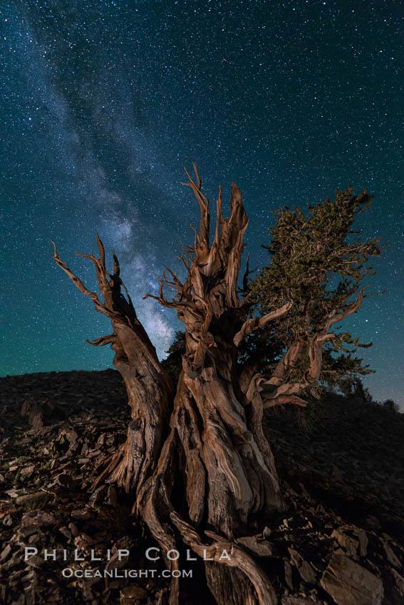 Milky Way over Ancient Bristlecone Pine Trees, Inyo National Forest. Ancient Bristlecone Pine Forest, White Mountains, Inyo National Forest, California, USA, Pinus longaeva, natural history stock photograph, photo id 29320