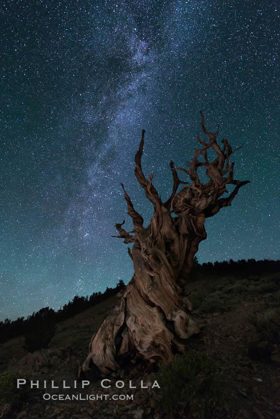 Milky Way over Ancient Bristlecone Pine Trees, Inyo National Forest. Ancient Bristlecone Pine Forest, White Mountains, Inyo National Forest, California, USA, Pinus longaeva, natural history stock photograph, photo id 29324