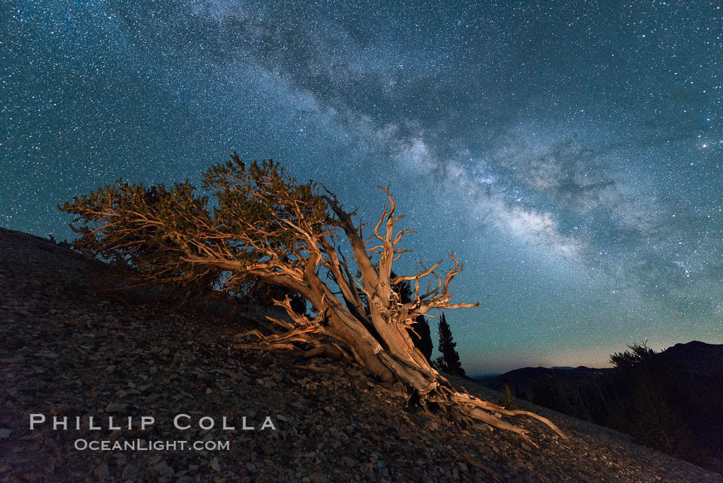 Image 29319, Milky Way over Ancient Bristlecone Pine Trees, Inyo National Forest. Ancient Bristlecone Pine Forest, White Mountains, Inyo National Forest, California, USA, Pinus longaeva, Phillip Colla, all rights reserved worldwide. Keywords: ancient, ancient bristlecone, ancient bristlecone pine forest, ancient bristlecone pine tree, astrophotography, bristlecone, bristlecone pine, bristlecone pine tree, california, dolomite, environment, evening, forest, galaxy, gnarled, great basin bristlecone pine, grove, growth, inyo national forest, landscape astrophotography, lifespan, longevity, milky way, mountain, national forests, nature, night, old, old growth, outdoors, outside, pine, pine tree, pinus longaeva, plant, rock, soil, stars, terrestrial plant, time, tree, twisted, usa, western bristlecone pine, white mountains, white mountains inyo national forest.