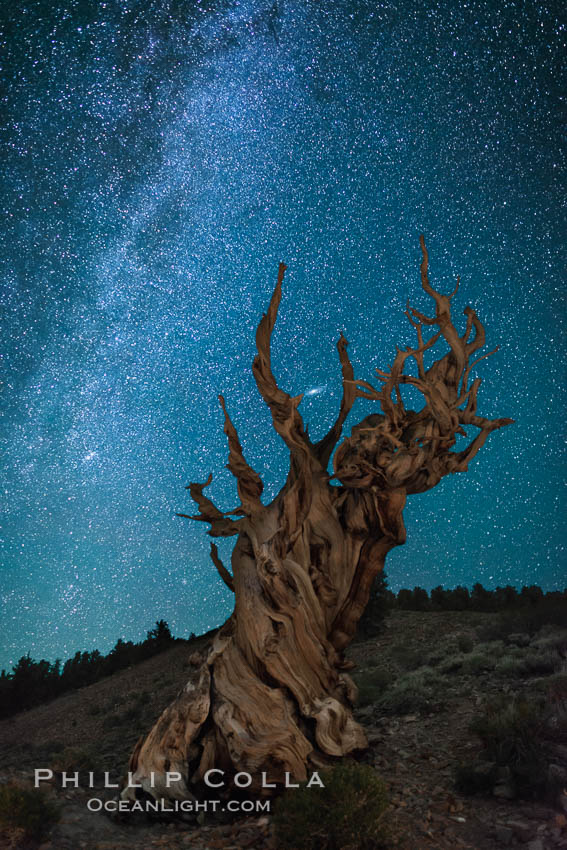 Milky Way over Ancient Bristlecone Pine Trees, Inyo National Forest. Ancient Bristlecone Pine Forest, White Mountains, Inyo National Forest, California, USA, Pinus longaeva, natural history stock photograph, photo id 29325