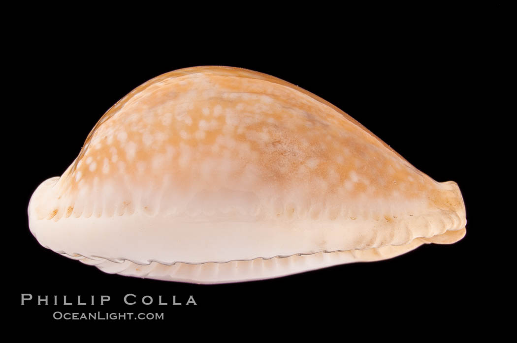 Image 08351, Millet Cowrie., Cypraea miliaris, Phillip Colla, all rights reserved worldwide. Keywords: cowries, cypraea miliaris, millet cowrie, shells.