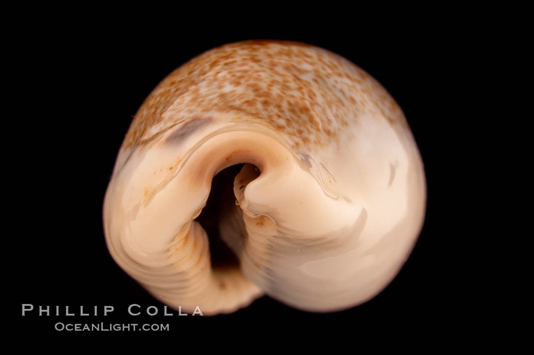 Mistaken Cowrie., Cypraea errones caerulescens, natural history stock photograph, photo id 08214
