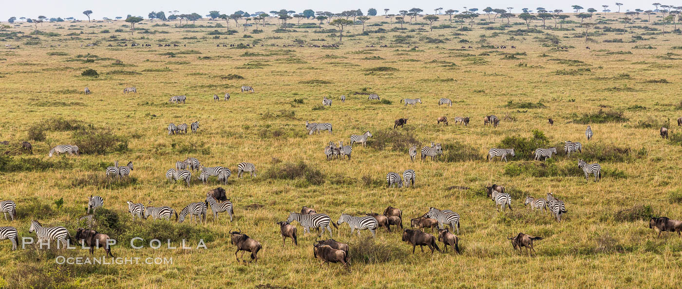 Mixed Herd of Wildebeest and Zebra, aerial photo, Maasai Mara National Reserve, Kenya., Equus quagga, natural history stock photograph, photo id 29827