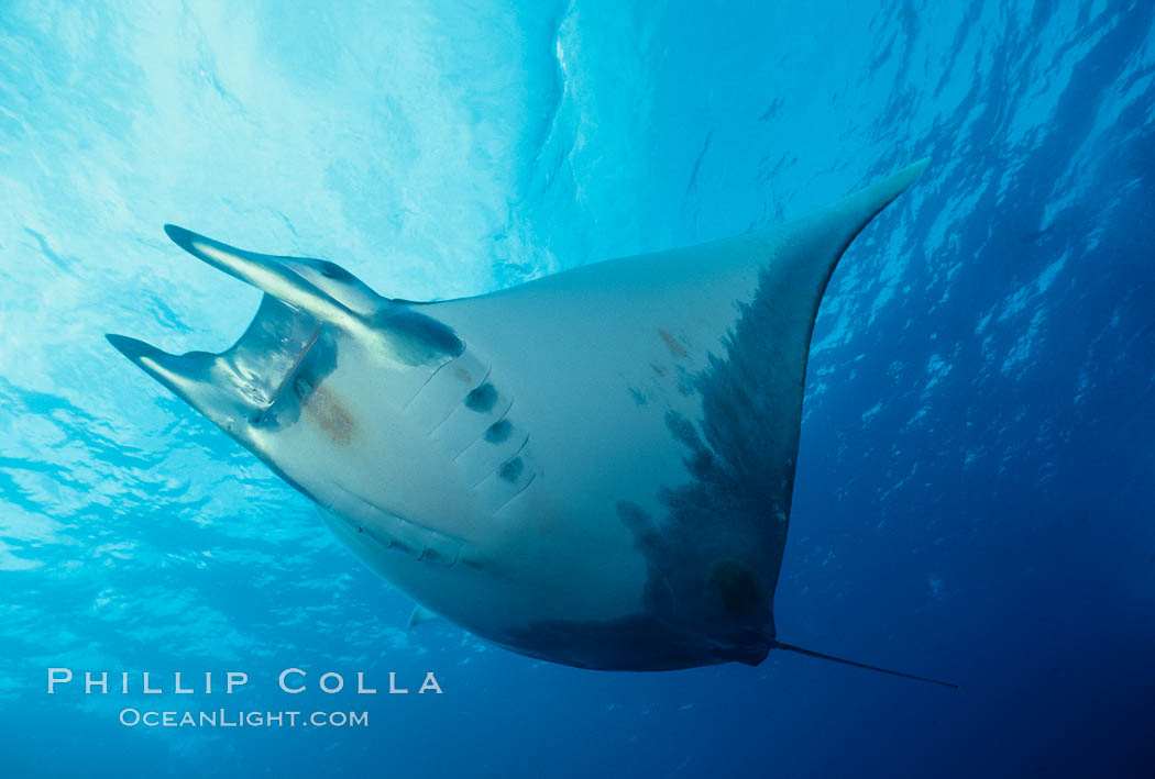 Image 01995, Mobula ray. Cocos Island, Costa Rica, Mobula sp.