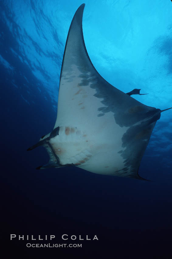Mobula ray. Cocos Island, Costa Rica, Mobula, natural history stock photograph, photo id 02001