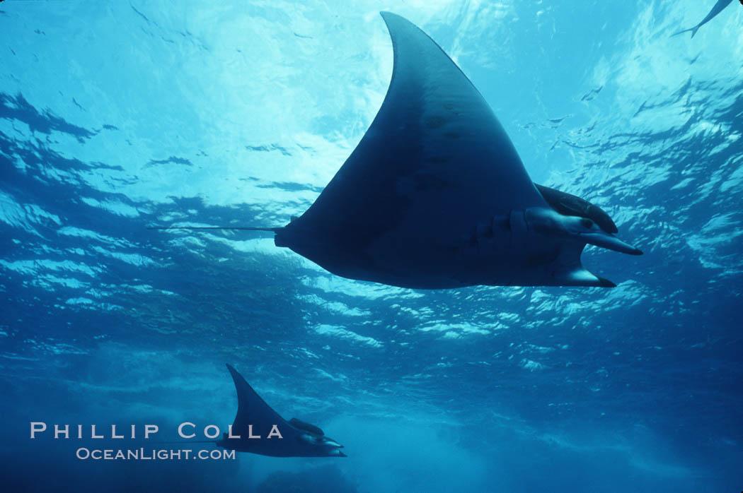 Mobula ray. Cocos Island, Costa Rica, Mobula, natural history stock photograph, photo id 02000