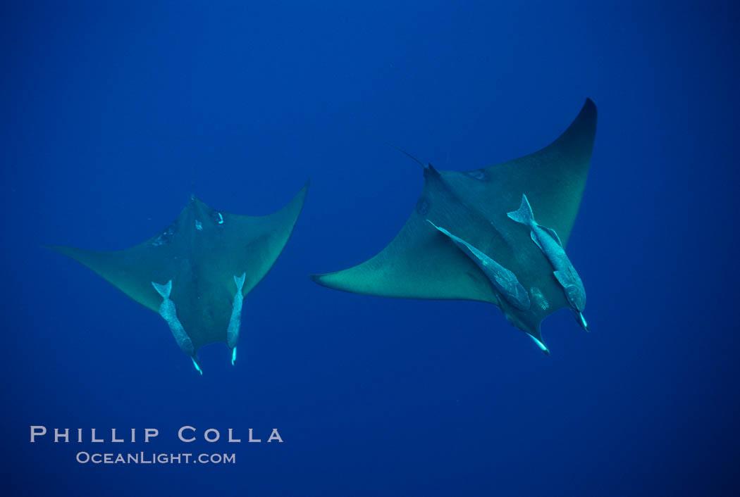 Mobula ray with remora. Cocos Island, Costa Rica, Mobula, natural history stock photograph, photo id 02003