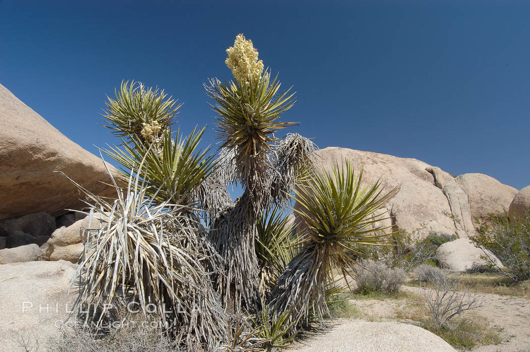 Mojave yucca in springtime bloom. Joshua Tree National Park, California, USA, Yucca schidigera, natural history stock photograph, photo id 09097