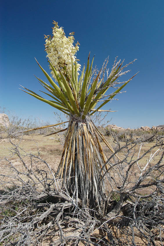 Mojave yucca in springtime bloom. Joshua Tree National Park, California, USA, Yucca schidigera, natural history stock photograph, photo id 09098