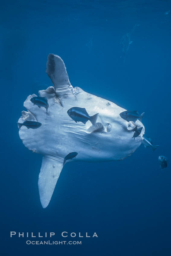 Ocean sunfish injured by boat prop with cleaner fishes, open ocean, Baja California., Mola mola, natural history stock photograph, photo id 06410