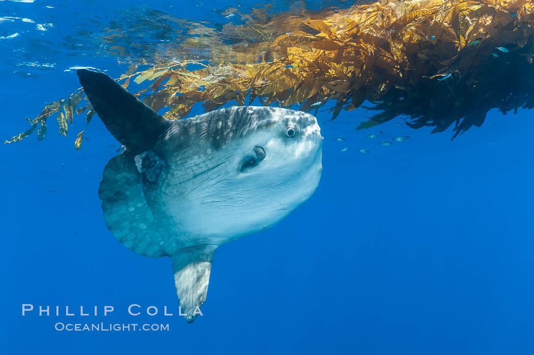 Ocean sunfish hovers near drift kelp to recruite juvenile fish to remove parasites, open ocean. San Diego, California, USA, Mola mola, natural history stock photograph, photo id 10022