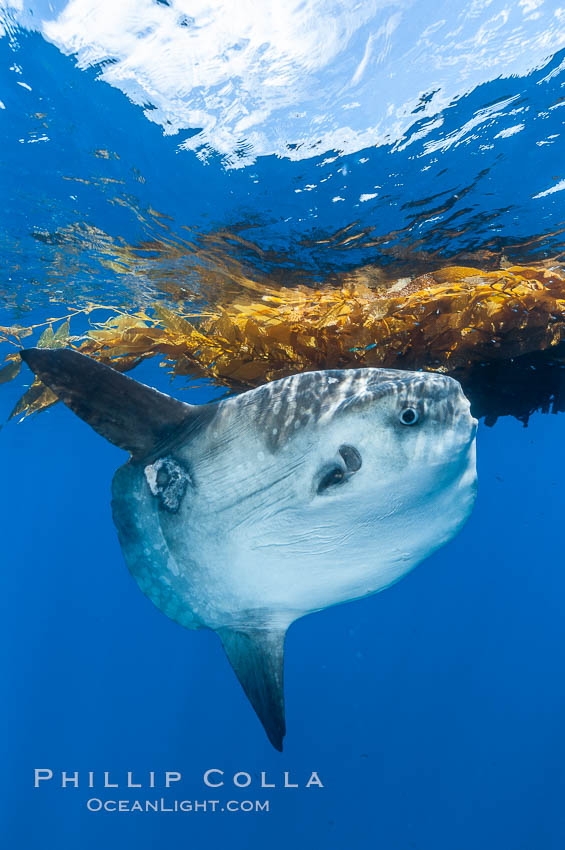 Ocean sunfish hovers near drift kelp to recruite juvenile fish to remove parasites, open ocean. San Diego, California, USA, Mola mola, natural history stock photograph, photo id 10008
