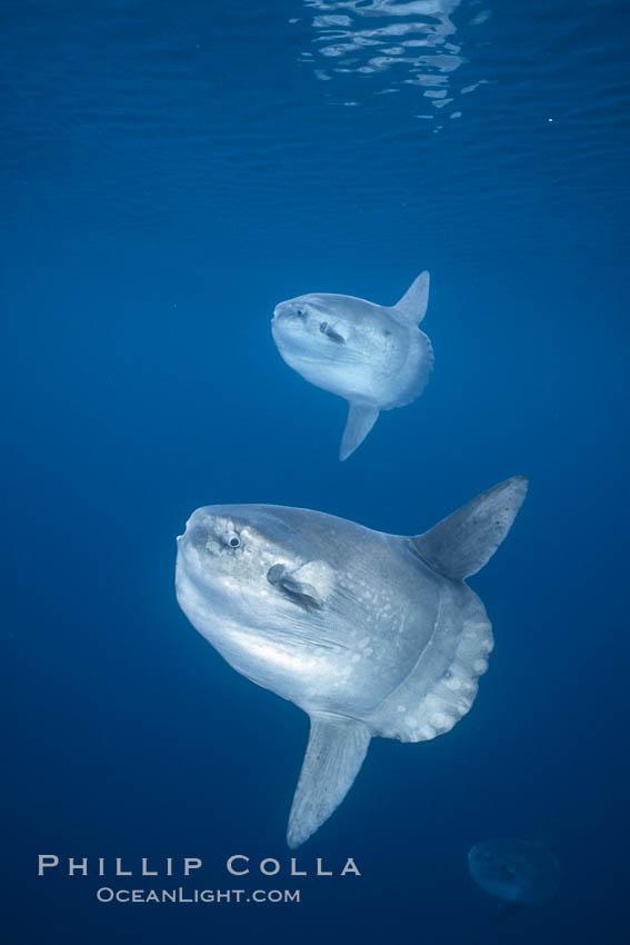 Ocean sunfish schooling, open ocean near San Diego. San Diego, California, USA, Mola mola, natural history stock photograph, photo id 03589