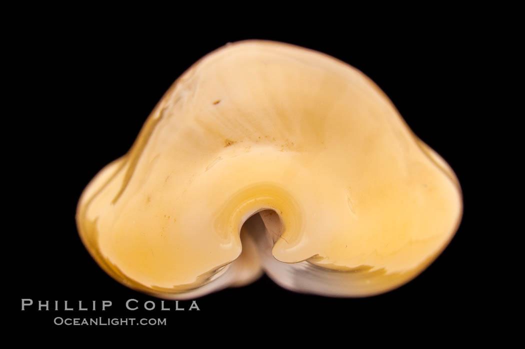 Money Cowrie, Cypraea moneta barthelemyi, natural history stock photograph, photo id 08461
