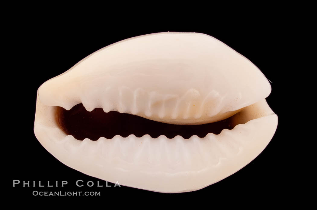Money Cowrie, Cypraea moneta, natural history stock photograph, photo id 08463