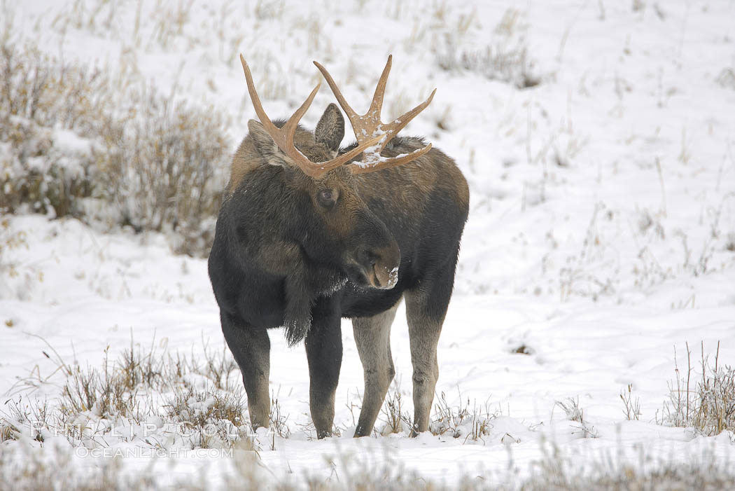 A male moose, bull moose, on snow covered field, near Cooke City. Yellowstone National Park, Wyoming, USA, Alces alces, natural history stock photograph, photo id 19689