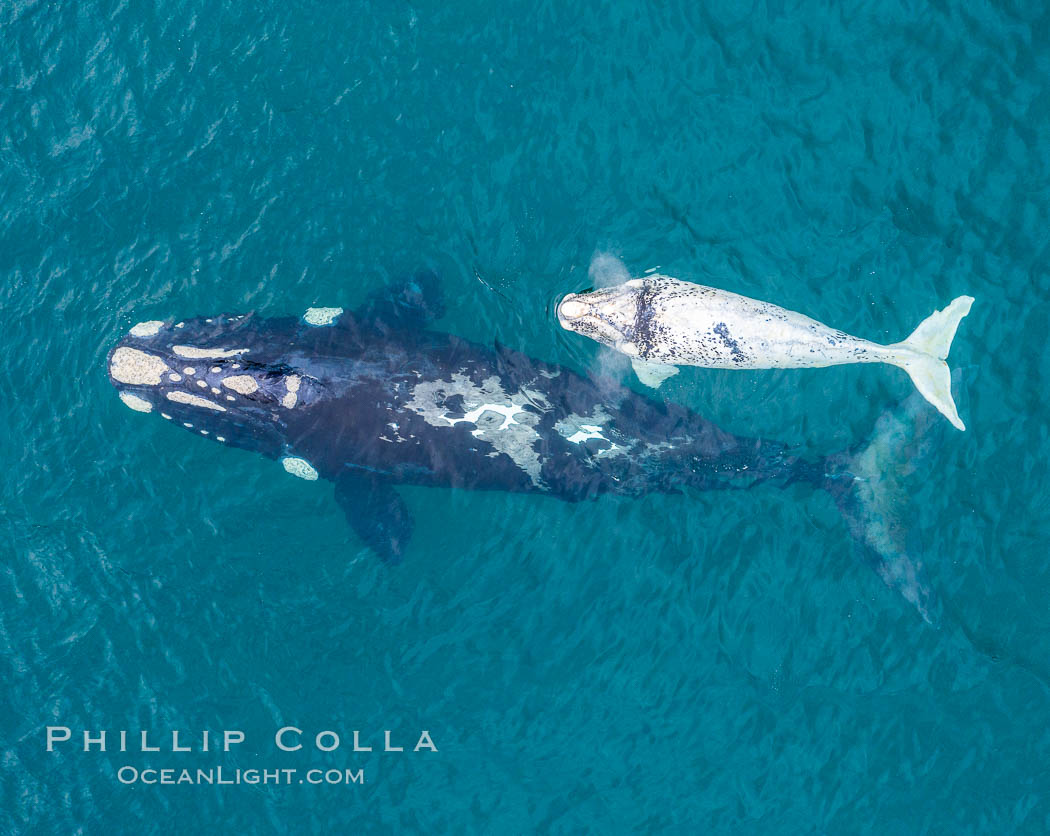 Aerial view of mother and white calf, Southern right whale, Argentina. Puerto Piramides, Chubut, Eubalaena australis, natural history stock photograph, photo id 35912