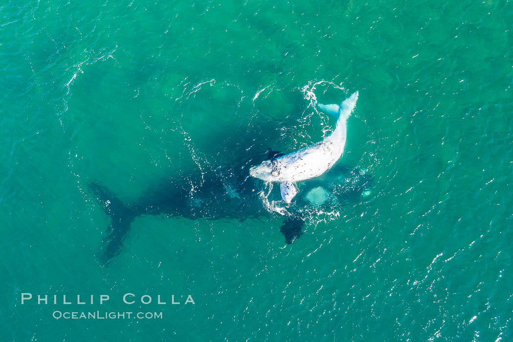 Aerial view of mother and white calf, Southern right whale, Argentina. Puerto Piramides, Chubut, Eubalaena australis, natural history stock photograph, photo id 35928