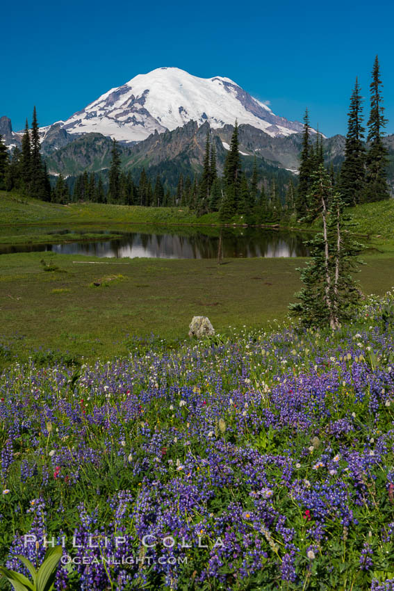Mount Rainier and alpine wildflowers. Tipsoo Lakes, Mount Rainier National Park, Washington, USA, natural history stock photograph, photo id 28737